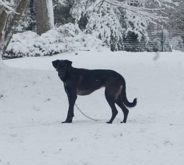Sadie A dog of unknown heritage, but built to perfection. A natural athlete with possibly some Wolfhound heritage, she is elegant, fast and agile. A 5 foot fence is no challenge to her! She won't even slow her stride!