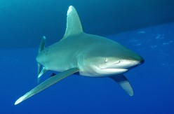 Fast As a Shark: The Sea's Most Lethal Killing Machines
