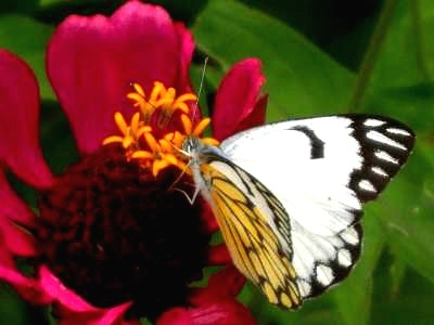 The white Tiger butterfly on red zenia