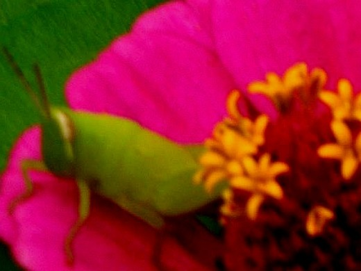 Green grasshoper on hot pink zenia