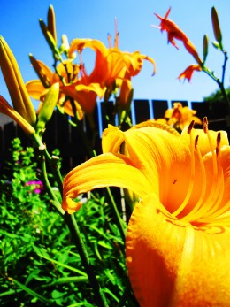 The imposter daylilies in my garden.