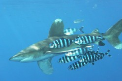 Pilot fish with an oceanic whitetip shark.