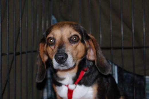 Millie. One of the many Beagles bred to hunt. They live their life in questionable conditions, driven around stuffed in small cages in truck beds; and dumped if they don't perform.