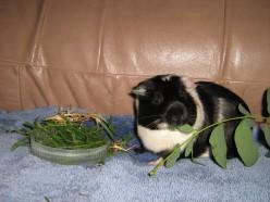 How to Teach your Smart Guinea Pig Amazing Tricks