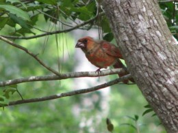 Molting Young Male Northern Cardinal