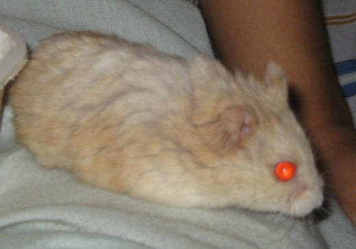 My hamster resting quietly on my lap.