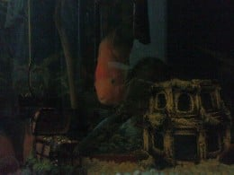 My pet fish coming out of his hiding to check out his surroundings.