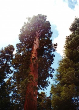 Gazing towards the top of a sequoia tree.