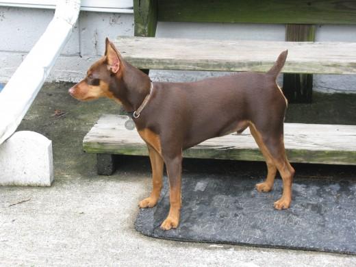 One of my dogs, a miniature pinscher