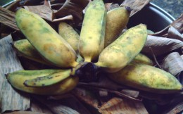 DAY 3 - Most of the bananas are already ripened. (Photo by Travel Man)