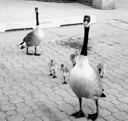 """""""Special Note-      This parking space is not for tourists.  I know you are on vacation, but this is reserved for Gator Glen inhabitants.  Just don't cross the line here!  Canadian Geese are really protective, when it comes to their youngsters,"""