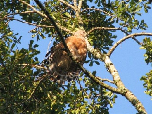 Red-shouldered Hawk perches in the Oak tree.
