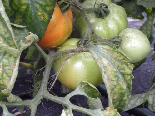 Early tomatoes start to ripen in the greenhouse. Tomatoes and basil are two shareholder favorites in the summer.