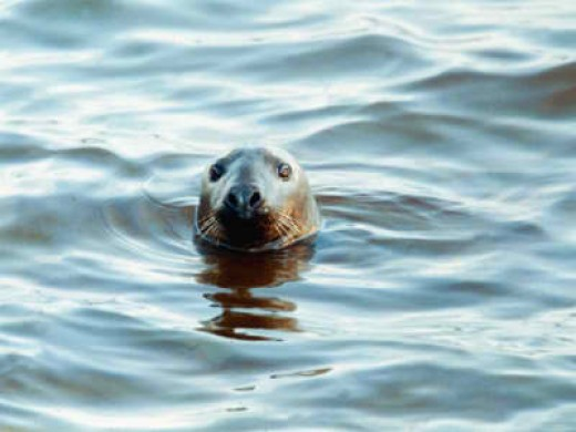 Braer Tank Disaster, a Seal Struggles in the Oily Film Oil in Water Ship Accident, January 1993