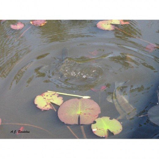 Water lilies and bass in the pond.