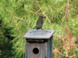 Female eastern Bluebird with a fat, juicy grub.