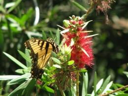 Tiger Swallowtail on Bottlebrush flower.