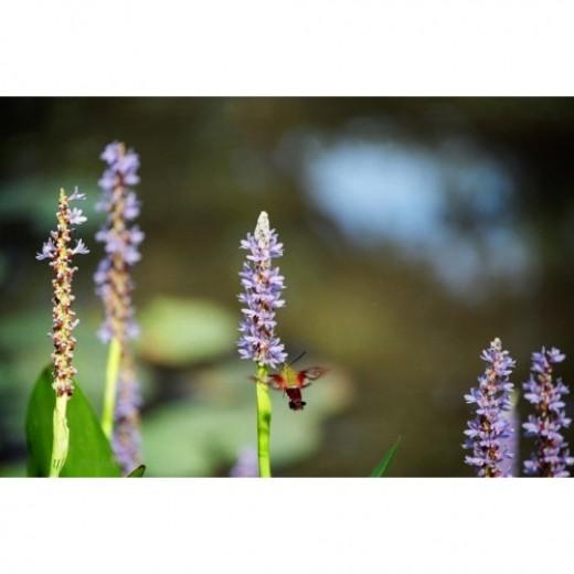 Hummingbird Moth on Pickerel Weed.