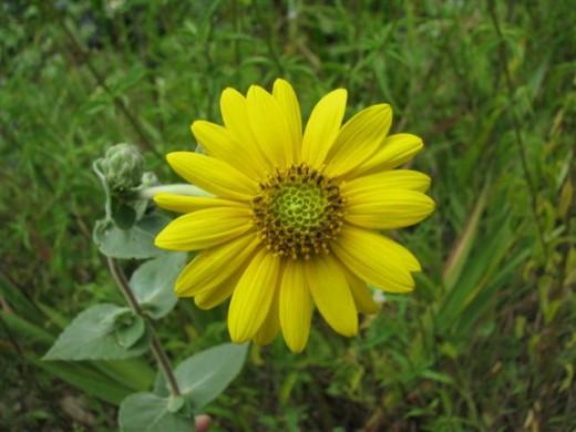 Ashy Sunflower