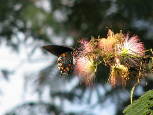 Pipevine Swallowtail Butterfly on Mimosa Blossoms.