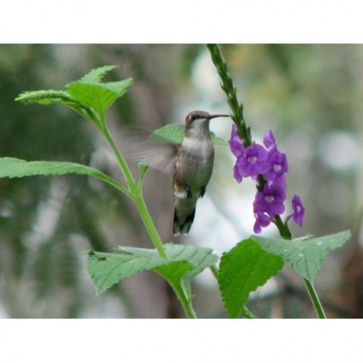 Female Ruby-throated Hummingbirds drinking from Jamaican Vervain flowers.
