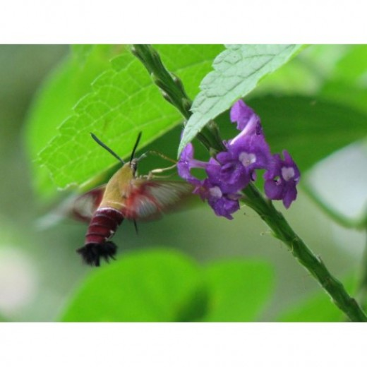 Clearwing Hummingbird Moth drinking from Costa Rican vervain.