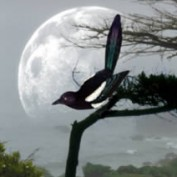 Chattering Magpie profile image