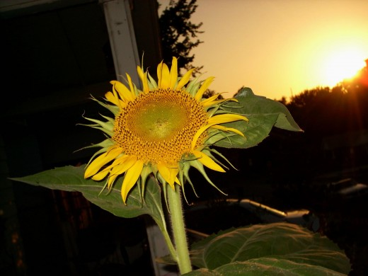"Start with hope by planting the largest and tallest Mammoth Sun Flower. ""Kindred Spirits"" I Call It Hope!!!!!!!!!!!!!!!!"
