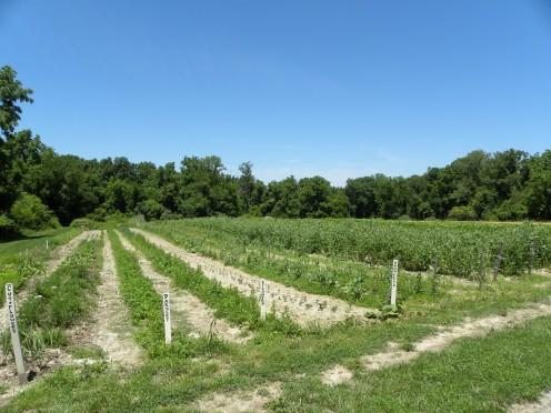 Rows of herbs at La Vista