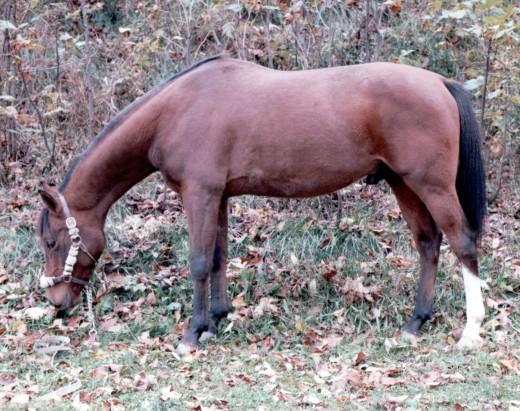 Stormin' Norman, former Arabian racehorse.