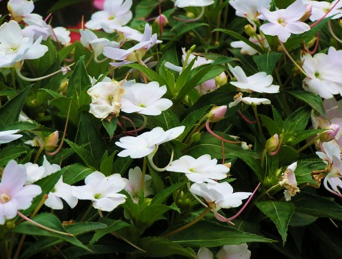 Bright white Impatiens brighten a shady spot.