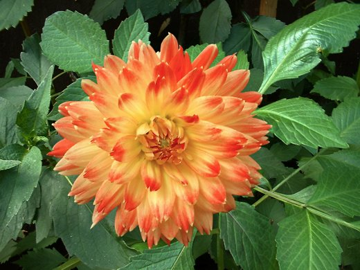 Sunburst Dahlia - Photo by timorous