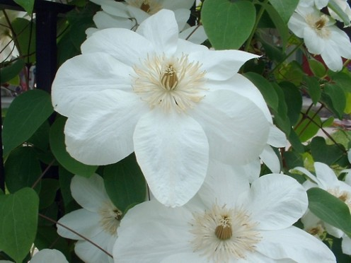 Mme. Le Coultre Clematis.  Photo by timorous