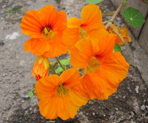 Nasturtium (click to view full size)
