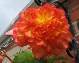 Begonia (click to view full size)