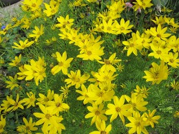 Coreopsis Zagreb (click to view full size)