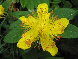 Hypericum (click to view full size)