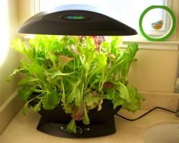 Salad greens after 5 weeks