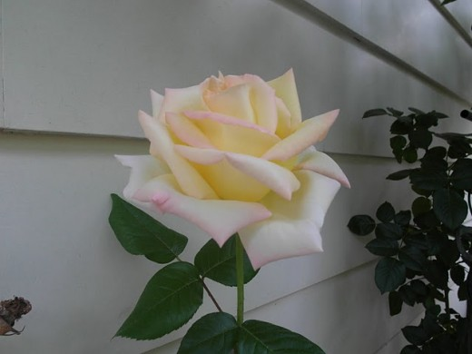 """Indian version of """"Peace Rose"""", beautiful and lovely"""