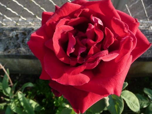 Awesome Papa Meilland rose found in the northern plains of India.
