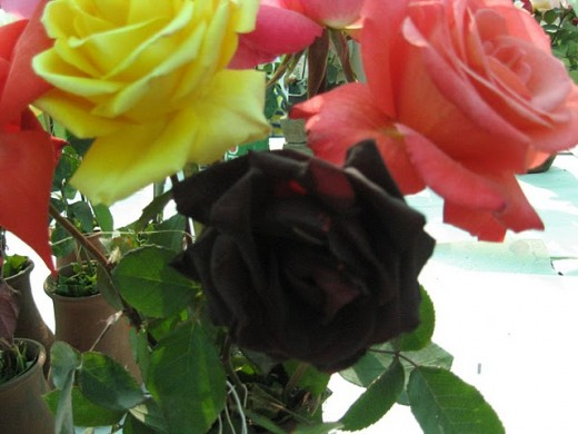 Found yellow, pink, and black rose in Rose Garden, Delhi, India