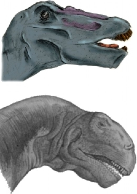 Apatosaurus head (Top) compared with a Camarasaurus head (Bottom)