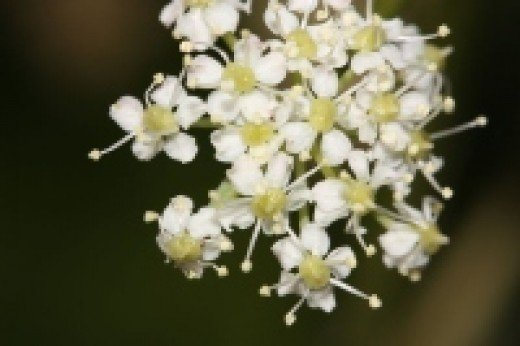 Lovage flower