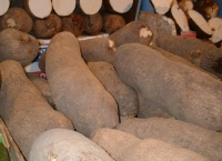 Yam is not a sweet potato, it is a starchy root native to Africa
