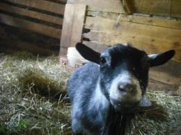 Pygmy goat!