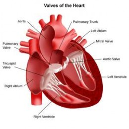 Lupus Disease sometimes involves the heart