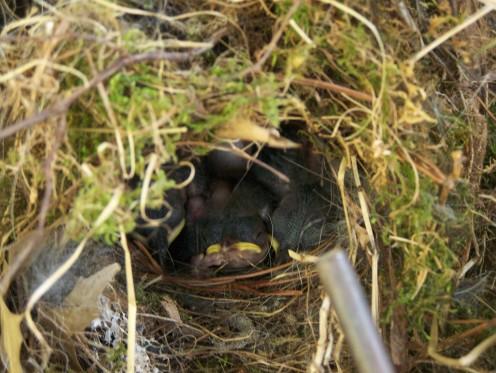 Carolina wren babies in a nest in a plastic bin in our lean-to outside.