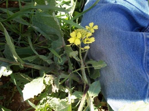 Wild mustard flower courtesy of penniless parenting
