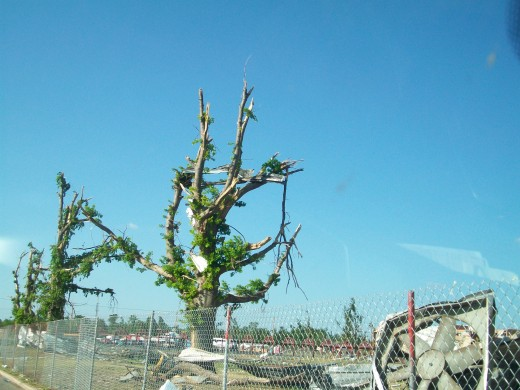The tree grows back, with roofing still lodged in its branches.