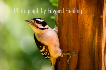 Young Woodpecker by Edward Fielding